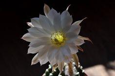 Echinopsis s.