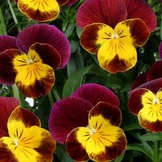 Did anyone put burgundy and gold Violas in their garden this year to show some #Redksins pride? #HTTR #LiveIt