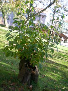 Colhendo amoras, plantando árvores...