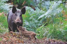 Wild boar numbers are rising in Britain, as are the arguments as to whether they should stay or go. Our guide explores boar in the UK, including whether they are dangerous, how they benefit the woodlands and grasslands, and where they live in Britain.