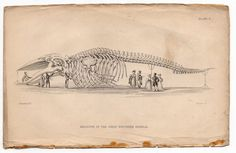 1837 whale skeleton original antique sea life ocean print - great rorqual whale anatomy via Etsy - This Day in History: Jul 23, 1982: The International Whaling Commission decides to end commercial whaling by 1985-86.