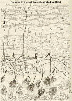 Neurons of a cat, Santiago Ramón y Cajal. Cat Brain, Brain Art, Science Art, Science And Nature, Brain Neurons, Medical Art, Medical Illustration, Zentangle Patterns, Microscopic Images