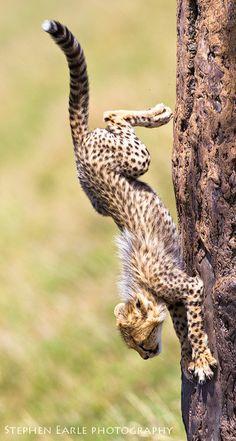 Cheetah climbing down a tree in the Maasai Mara by Stephen Earle