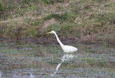 Garza Blanca Grande- Ardea Alba. A orillas de una laguna de campo, junto al ganado, estaba comiendo pequeños moluscos y bichitos.