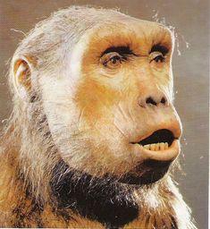 Australopithecus bah