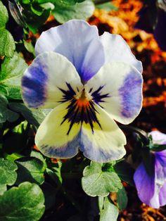 Lieschens-Bilder: Hornveilchen lila