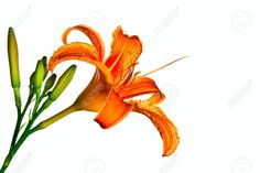 Orange Tiger Lily Isolated On White Background Stock Photo ...