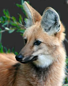 ☀Maned Wolf by Penny Hyde