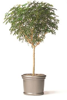 Ficus amstel king braid when people think of ficus they often think of the weeping fig ficus - Tall office plants ...