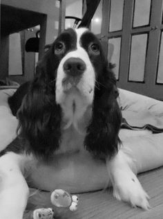 Adorable! Springer Spaniel