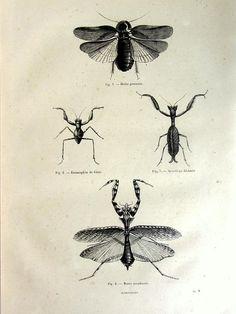 Vintage mantis print antique original 1860 mantis by TheLyraNebula, $25.00