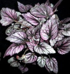 Rex Begonias  (Begonia rex-cultorum)