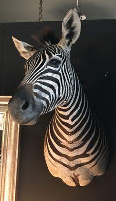 True ro life stuffd head of a zebra - Shouldermounts Stuffed head. Hunting trophy animals. Taxidermy - De Jachtkamer