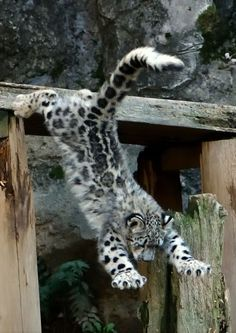 Tagged with aww, awesome, big cat; Snow leopard cub's first jump Big Cats, Cool Cats, Cats And Kittens, Leopard Cub, Snow Leopard, Baby Leopard, Beautiful Cats, Animals Beautiful, Rare Cats