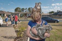 Koalas huérfanos, Australia (© Joel Sartore / National Geographic Image Sales)