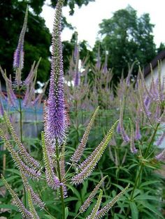 Veronicastrum 'Apollo' available from Digging Dog Nursery