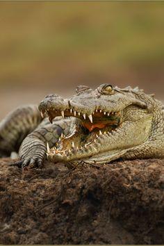 watvrfall:  archangvl:  Nile Crocodile | Sandra Rademaker |...