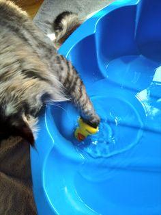 Maine Coon Kater Spirit spielt mit einem Wasserspielzeug im Katzenpool Mystery, Cats, Kunst, World, Summer