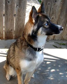 Pictures and information about the Gerberian Shepsky, which is a mix between an Siberian Husky and the German Shepherd dog. Beautiful Dogs, Animals Beautiful, Cute Animals, Sweet Dogs, Cute Dogs, Saarloos, German Shepherd Puppies, German Husky, German Shepherds