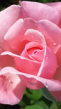 #Rose #Rosa #Flower #Fiore #Beauty #bellezza #magical #nature