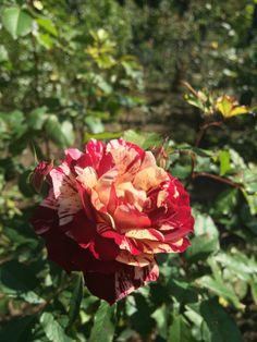 コピスガーデンのお庭で、ベル・デスピヌーズ - Belle d'Espinouseが咲いています。個性的な風貌~~ 好き嫌いが分かれるバラですが、みなさんはお好きなタイプですか? ベル・デスピヌーズ - Belle d'Espinouse石の階段を下りて、右回りでも左回りでもよいのですが、中を抜ける道に自然木で作ったアーチがあります。そのお隣のあたりに植えられています♪強烈なワインレッドに、ところどころクリーム色から白色に変化する斑が...