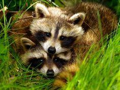 Raccoons.