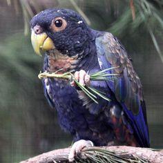 Pionus Parrots Like all pionus parrots,