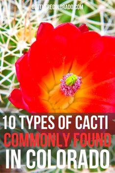 There are more than a dozen types of cacti to find in Colorado, many of which bloom vibrant flowers. Here are 10 types of cacti you might see around the state of Colorado. #OutThereColorado #Travel #Colorado #ColoradoVacation #ColoradoSprings #Denver #Breckenridge #RockyMountainNationalPark #Mountains #Adventure #ColoradoFall #ColoradoPhotography #ColoradoWildlife #Mountains #Explore #REI #optoutside #Hike #Explore #Vacation State Of Colorado, Colorado Hiking, Cactus Types, Rocky Mountain National Park, Best Hikes, Bloom, Cacti, Denver, Flowers