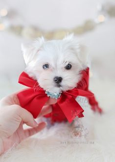 Teacup Maltese puppy dog for Christmas. My Maltese was a Christmas gift years ago and it was the best 17 years. Holiday puppies rule!