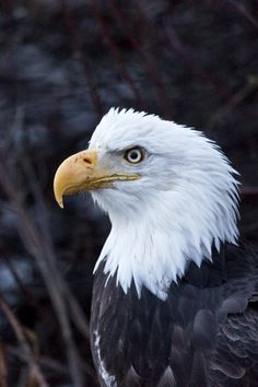 November is the time to drive the Haines Highway for stunning landscapes and fabulous eagle viewing!  Learn more about this natural, scenic drive location at http://www.examiner.com/article/beautiful-scenic-drive-on-alaska-and-canada-s-haines-highway
