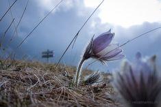 Bergblume auf der Seiser Alm – kurz vor dem Regen  #SeiserAlm #AlpediSiusi #Südtirol #Südtirolbewegt #Dolomiten #Italien #Bergblumen Flowers, Plants, Europe, Hiking Trails, Rain, Hiking, Round Round, Italy, Plant