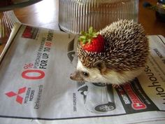 The name for a baby hedgehog is a hoglet baby hedgehogs if you were having a bad day heres a picture of a hedgehog with a strawberry on its head if you had a good day well then its still a hedgehog with voltagebd Gallery
