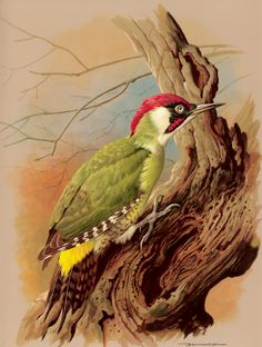 Green Woodpecker Basil Ede, born in England in 1931, is regarded as being among the foremost painters in the history of avian portraiture.