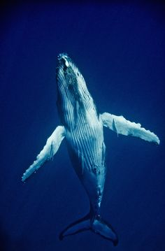 whale. so Beautiful, most definitely my favorite animal, just in case all y'all didn't know