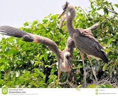 Resultado de imagem para passaros do pantanal