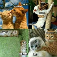 Exo as cats Funny Kpop Memes, Exo Memes, Exo Ot12, Kaisoo, K Pop, Baekhyun, Memes Chinos, Xiuchen, Kpop Exo