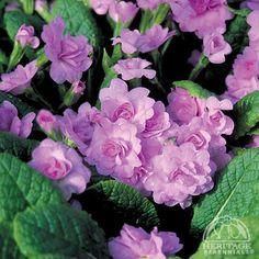 Double Primula Primrose | Primula 'Quaker's Bonnet'