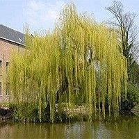 Niobe Weeping Willow (Salix alba tristis). Yellow color. Hardy. Plant at bottom of corner hill with a pair of kousa dogwoods and some shrubs/perennials in front (at the crest of the hill before the decline)