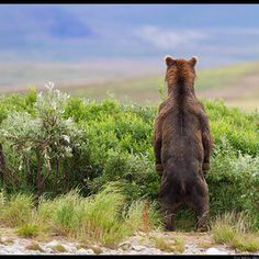 brown bear standing with back to camera