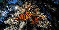 Resultado de imagem para imagens de borboletas representando paises brasil e coreia