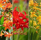 Monbretia/crocisimia Buy 1 collection for £9.99, or 2+1 free collections for £19.98