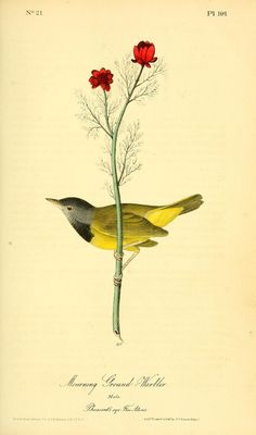 v 2 - The birds of America by John J Audubon : - Biodiversity Heritage Library - Morning Ground Warbler