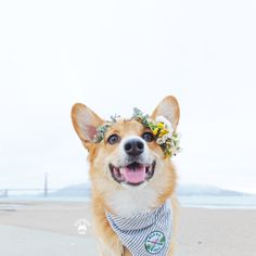 Yas Corgis — littlecooperbear: When you wanna be Snapchat but...