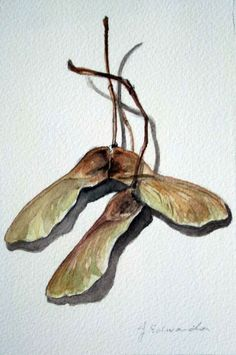 Maple Keys Watercolor  3 - Original Watercolour Painting - Nightly Study October 14th