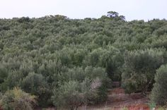 Olive Tress at Hill Crest #CapeTown