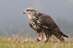 Saker Falcon - E.Europeeastwards acrossAsiatoManchuria. It is mainlymigratory, except in the southernmost parts of its range, wintering inEthiopia, Arabian peninsula, N. Pakistan& W. China