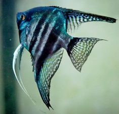 Pinoy blue zebra angelfish- what a beauty! would love to have one if I could find it at my fish store (and no, I don't shop at the big corporate stores)