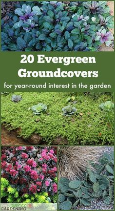 Evergreen Groundcover Plants: 20 Choices for Year-round Interest - - Meet 20 evergreen groundcover plants that are beautiful all year long. Some are suited to full sun, others are best for shade. Many also produce flowers. Rock Garden Plants, Garden Shrubs, Landscaping Plants, Shade Garden, Lawn And Garden, Landscaping Ideas, Bamboo Garden, Rain Garden, Garden Fun
