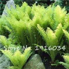 100Pcs Colorful Fern Seeds Rare Creeper Vines Grass Mixed Foliage Plants Bonsai Exotic Plant for Flower Pots Planters hot sale