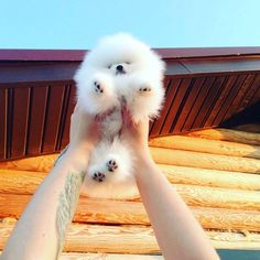 Marvelous Pomeranian Does Your Dog Measure Up and Does It Matter Characteristics. All About Pomeranian Does Your Dog Measure Up and Does It Matter Characteristics. Fluffy Animals, Cute Baby Animals, Animals And Pets, Spitz Pomeranian, Pomeranians, Cute Puppies, Cute Dogs, Lab Puppies, Pomes